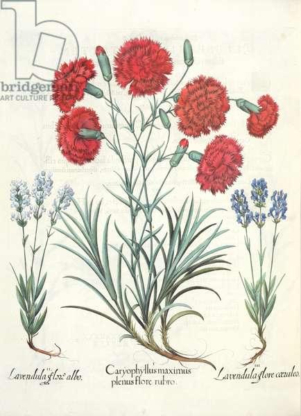 Carnations and Lavender: 1.Caryophyllus maximus plenus flore rubro; 2.Lavandula flore albo; 3.Lavandula flore ceruleo, from the 'Hortus Eystettensis' by Basil Besler (1561-1629), pub. 1613 (engraving)