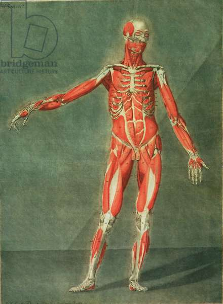Superficial Muscular System of the Front of the Body, plate 4 from a complete course of anatomy with text by Jadelot, engraved by the artist, pub. 1773 (mezzotint)