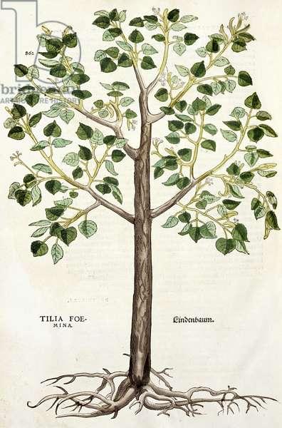 Tilia Foemina, Lindenbaum, or Lime Tree, illustration from 'De historia stirpium' (woodcut)