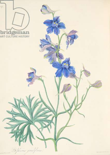 Great Flowered Larkspur, from Floral Illustrations of the Seasons, pub. 1829 (hand coloured engraving)