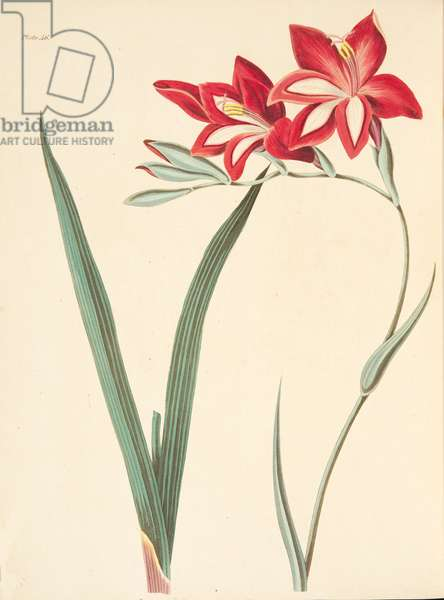 Superb Corn-Flag, from Floral Illustrations of the Seasons, pub. 1829 (hand coloured engraving)
