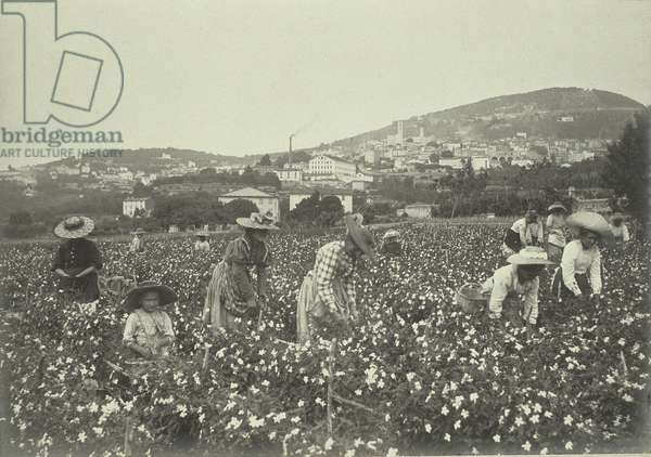 Gathering jasmine flowers, from 'Industrie des Parfums a Grasse', c.1900 (photo)