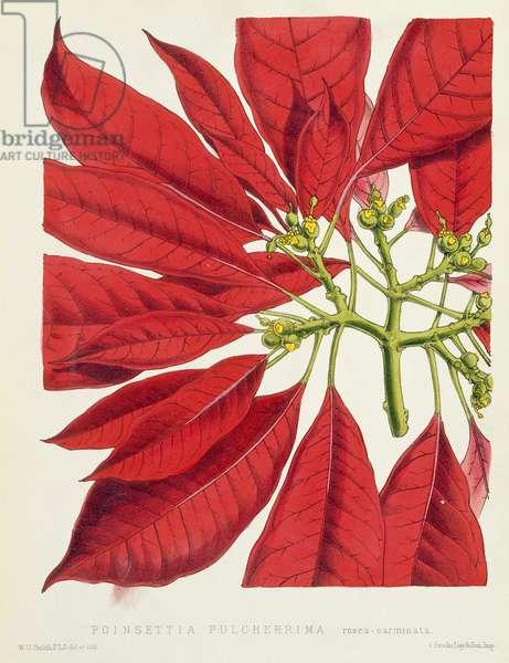Poinsettia Pulcherrima (colour litho)