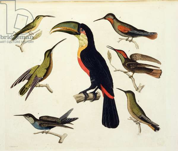 Native birds, including the Toucan (centre), Amazon, Brazil, from 'Le Costume Ancien et Moderne', Volume II, plate 42, by Jules Ferrario, engraved by V. Raineri, published c.1820s-30s (colour litho)