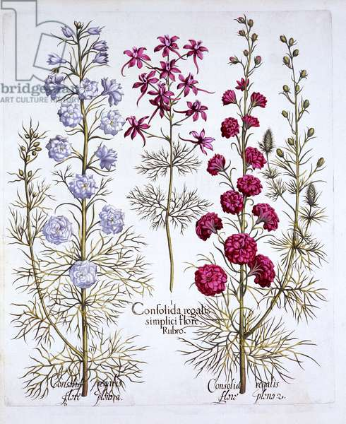 Varieties of Larkspur, from 'Hortus Eystettensis', by Basil Besler (1561-1629), pub. 1613 (hand coloured engraving)