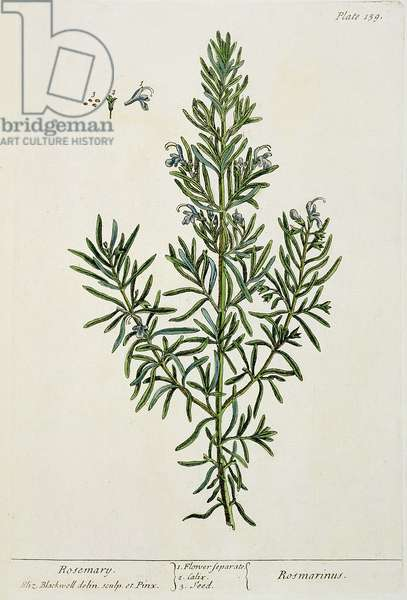 Rosmarinus Officinalis, from 'A Curious Herbal', 1782 (colour engraving)
