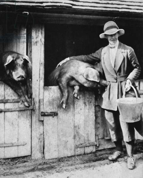 A judge's daughter who works loyally on a Sussex far: Miss Trayner feeding pigs, from 'The Illustrated War News', 26th July 1916 (b/w photo)
