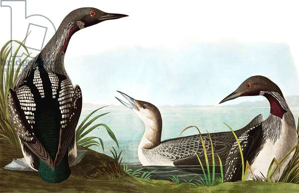 """Black Throated Diver, Colymbus Arcticus, from """"The Birds of America"""" by John J. Audubon, pub. 1827-38 (hand coloured engraving)"""