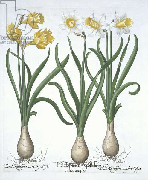 Three Pseudo-Narcissi, from 'Hortus Eystettensis', by Basil Besler (1561-1629) pub. 1613 (hand coloured engraving)