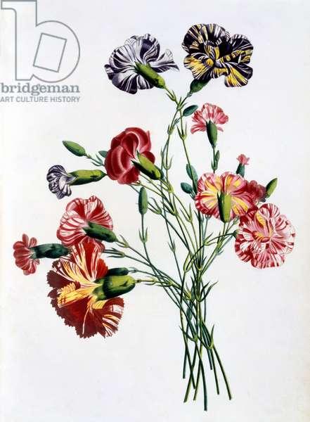 Bouquet of Carnations, from 'Collection des Fleurs et des Fruits d'apres Nature', published 1805 (colour engraving)