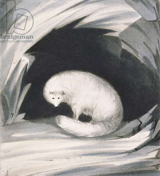 Arctic Fox, from 'Narrative of a Second Voyage in Search of a North-West Passage (1829-33)', by Sir John Ross (1777-1836), engraved by John Brandard (1812-63) (litho)