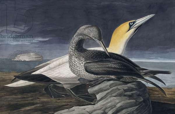 "Northern Gannet, Morus Bassanus, from ""The Birds of America"" by John J. Audubon, pub. 1827-38 (hand coloured engraving)"
