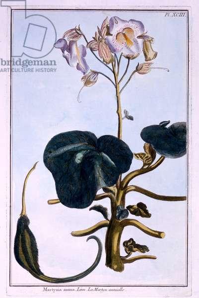 Proboscis Flower (coloured engraving)