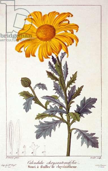 Calenudla officinalis, or Pot Marigold, 1836 (hand-coloured engraving)