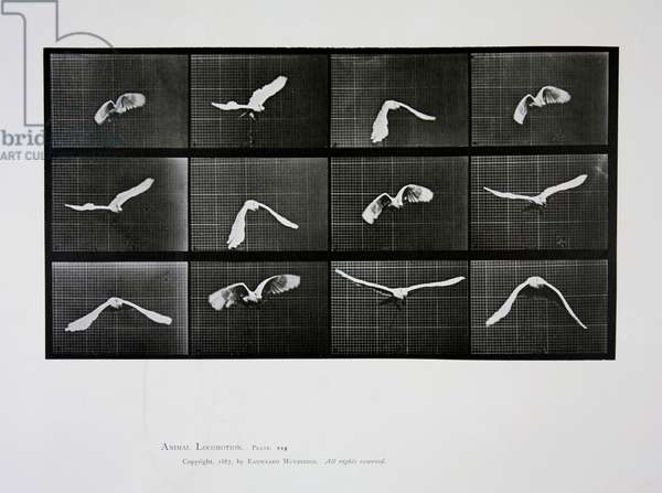 Bird in flight, plate 762 from 'Animal Locomotion', 1887 (b/w photo)