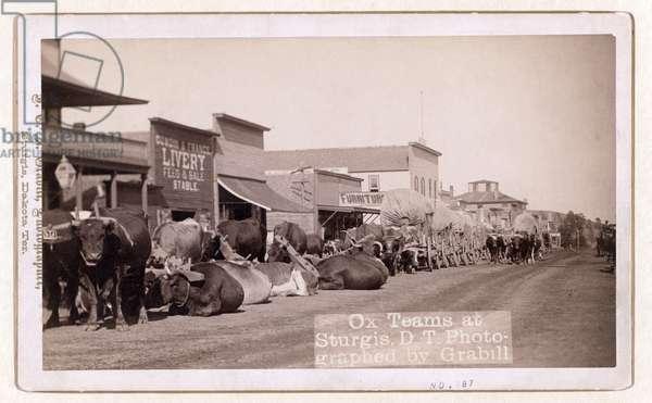 Ox teams at Sturgis, D.T., pub.1887 - 1892 (photo)