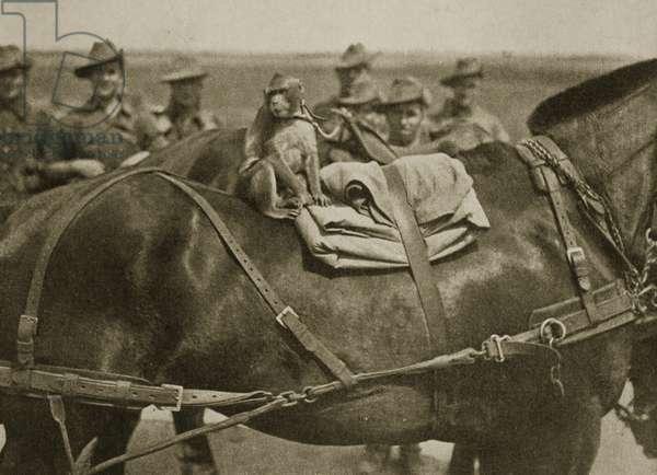 The mascot of the Anzacs, 1916 (sepia photo)
