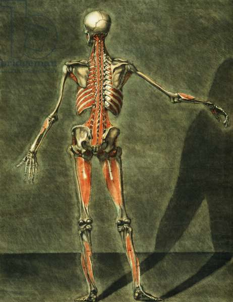 Deep Muscular System of the Back of the Body, plate 10 of a complete course of anatomy with text by Jadelot, engraved by the artist, pub. 1773 (mezzotint)