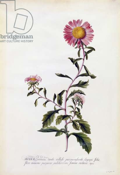 Aster, c.1743 (hand-coloured engraving)