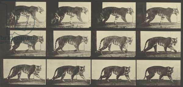 Tiger Walking, Plate 729 from Animal Locomotion, 1887 (b/w photo)