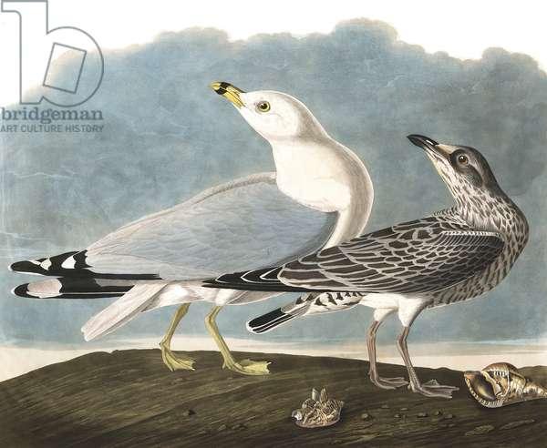 "Ring-Billed Gull, Larus Delawarensis, from ""The Birds of America"" by John J. Audubon, pub. 1827-38 (hand coloured engraving)"