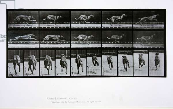Greyhound running, plate 708 from 'Animal Locomotion', 1887 (b/w photo)