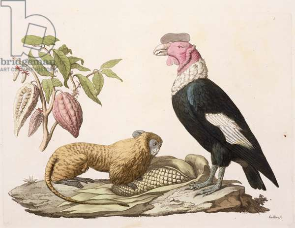 Lion monkey and condor, native to Chile or Ecuador, from 'Le Costume Ancien et Moderne', Volume II, plate 1, by Jules Ferrario, engraved by Gallo Gallina (1796-1874), published c.1820s-30s (colour litho)