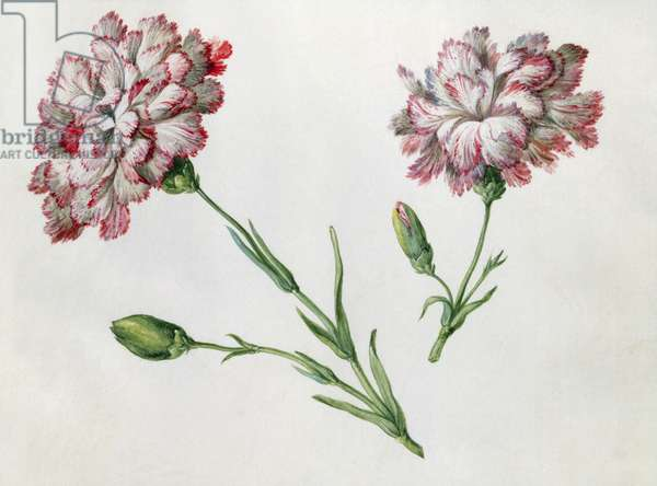 Carnations (w/c on paper)