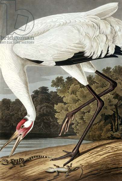 "Hooping Crane, Grus Americana, from ""The Birds of America"" by John J. Audubon, pub. 1827-38 (hand coloured engraving)"