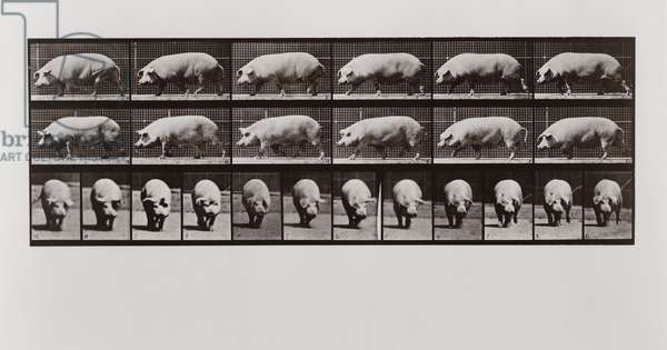 Pig walking, Plate 673 from Animal Locomotion, 1887 (b/w photo)