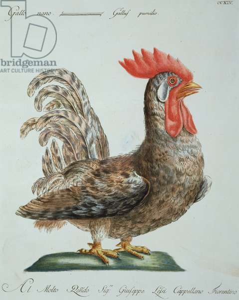 Dwarf Cockerel, c.1767-76 (hand coloured engraving)