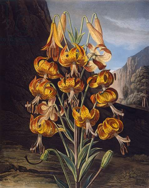 The Superb Lily, from 'The Temple of Flora' by Robert Thornton, engraved by Richard Earlom (1743-1822) published 1799 (colour engraving)