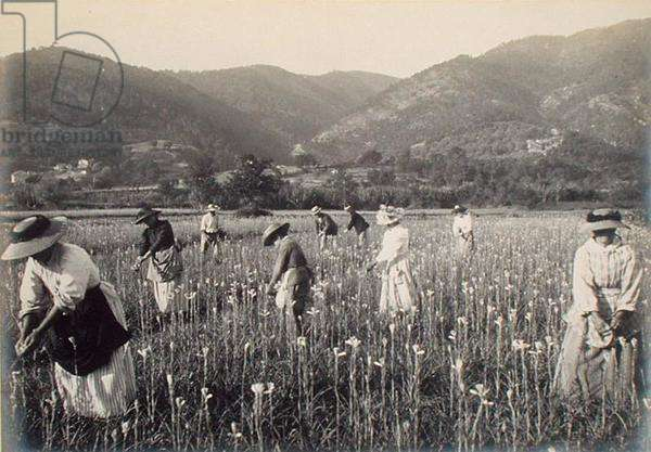 Gathering tuberoses, from 'Industrie des Parfums a Grasse', c.1900 (photo)