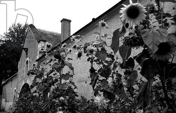 Sunflowers, France 1937