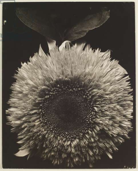 Sunflower, 1920-22, printed later (gelatin silver print)