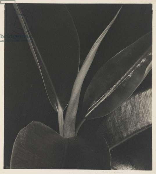 Rubber Plant, c.1929 (gelatin silver print)