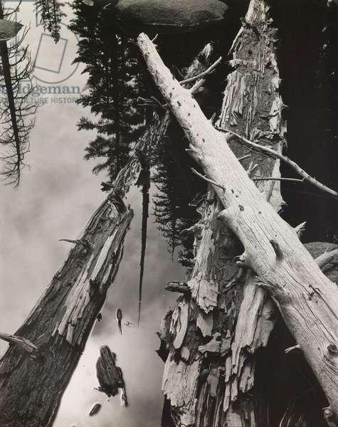 Yosemite, Fallen Trees, 1940s (gelatin silver print)