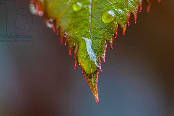 Rose leaf after rain, Dijon, France, March 2020 (photo)