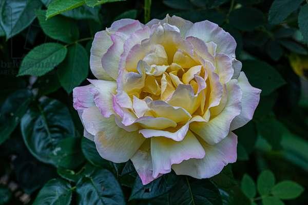 My rose, Dijon, France, May 2020 (photo)