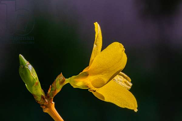 Forsythia and bud in spring, on their branch, close-up on blurred background, 2020 (photo)