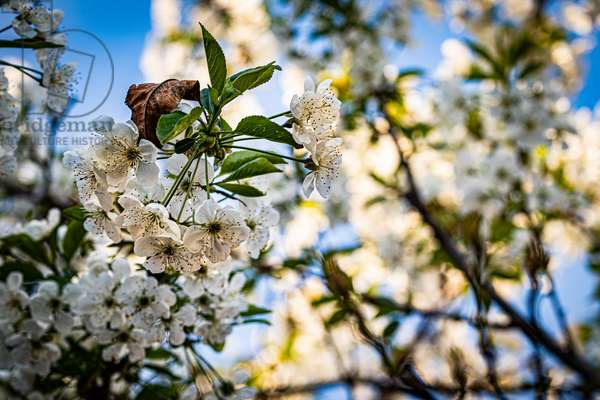 Cherry Blossom, Dijon, France, April 2020 (photo)