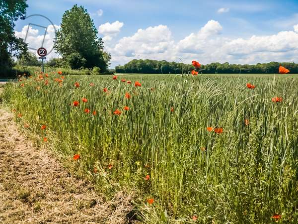 Pretty poppies, Arc-sur-Tille, France, May 2018 (photo)