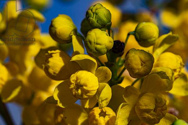 Yellow barberry, Dijon, France, March 2020 (photo)