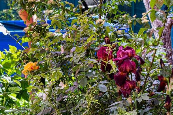 Iris and rose, Dijon, France, May 2020 (photo)