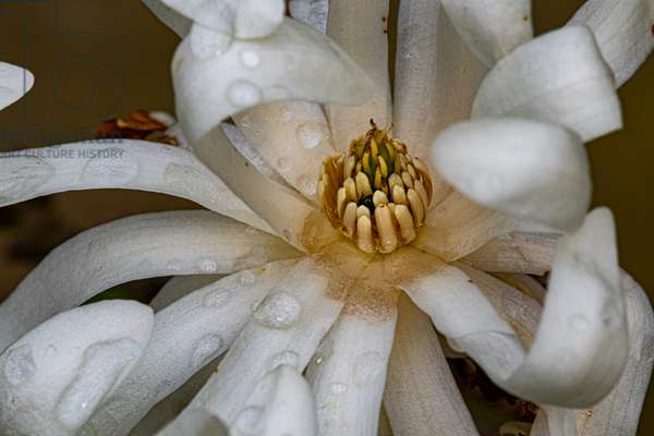 Magnolia stellata in spring, close-up on blurred background, 2020 (photo)