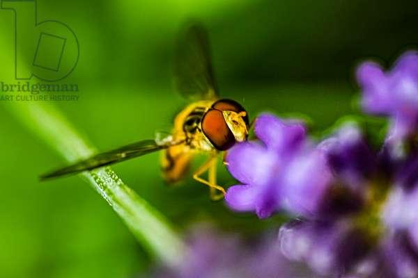 The syrphid likes purple, Dijon, France, June 2019 (photo)