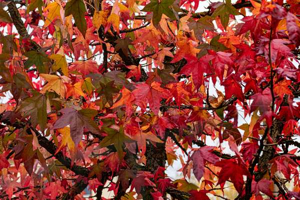 Autumn texture with pretty red maple leaves, 2019 (photo)