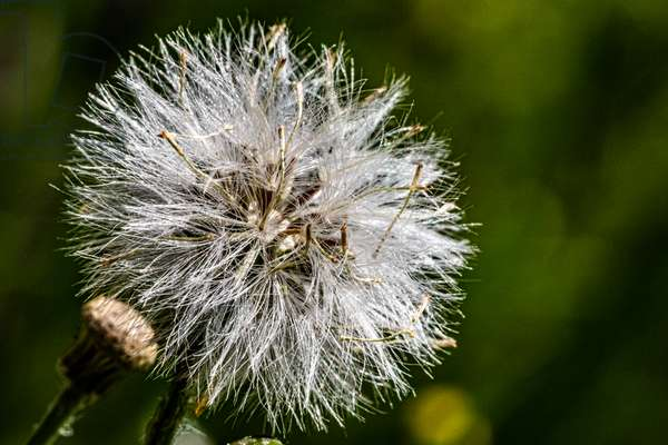 Dandelion in spring, close-up on blurred background, 2020 (photo)