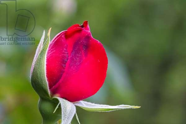 My rose, Dijon, France, April 2020 (photo)