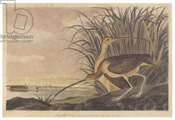 Long-billed Curlew, illustration from 'The Birds of America', engraved, printed and coloured by Robert Havell (1793-1878), 1834 (hand-coloured litho)
